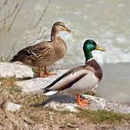 couple-colvert.png